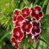 Puzzle: Červené květiny hra online
